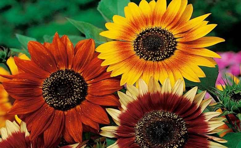 Ini Dia 8 Tips Menanam Bunga Matahari Yang Wajib Kamu Tahu