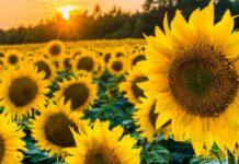 8 Tips Menanam bunga matahari