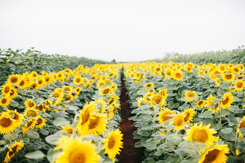 65+ Gambar Bunga Matahari Warna Hitam Putih Paling Bagus