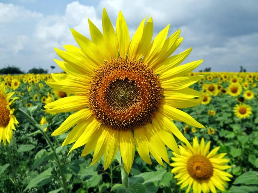Ini Dia 5 Tips Menanam Bunga Matahari Yang Wajib Kamu Tahu