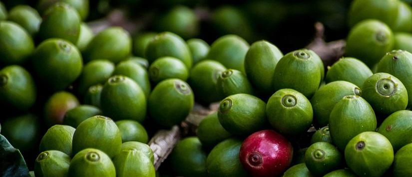 green coffee memiliki khasiat alami untuk menurunkan berat badan
