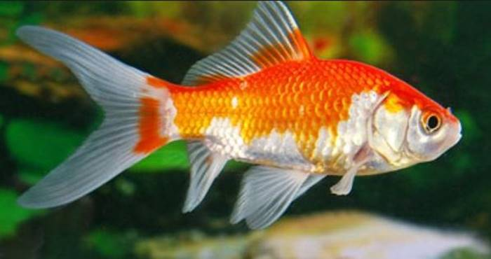 Ikan Hias Air Tawar - Ikan Komet