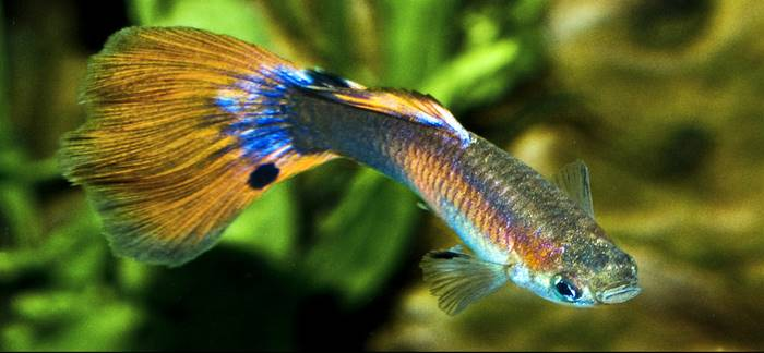 Ikan Hias Air Tawar - Ikan Guppy
