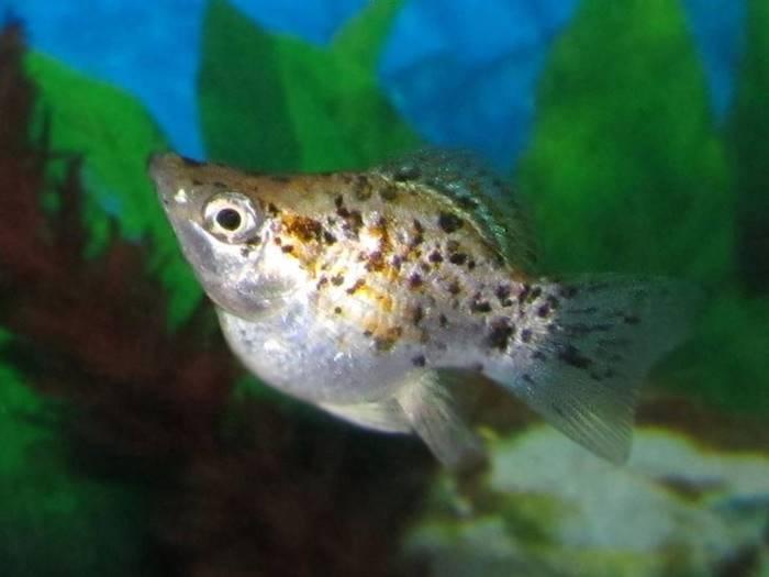 12 Jenis Ikan Hias Air Tawar Yang Mudah Dipelihara Untuk Pemula
