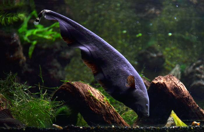 Ikan Hias Air Tawar - Ikan Blackghost