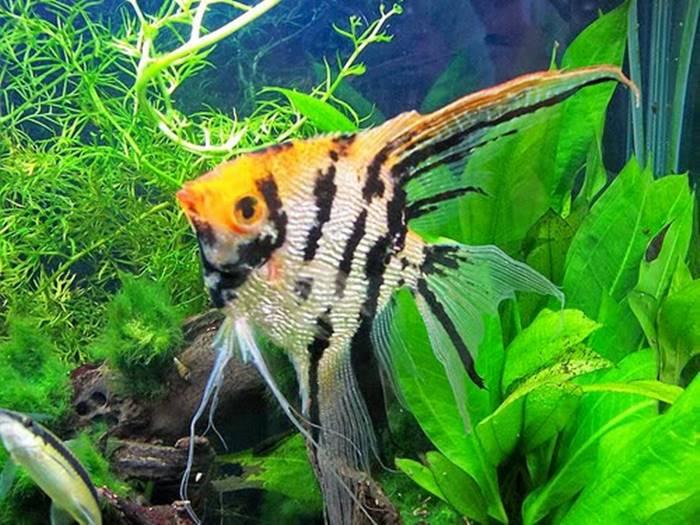 Ikan Hias Air Tawar - Ikan Manfish