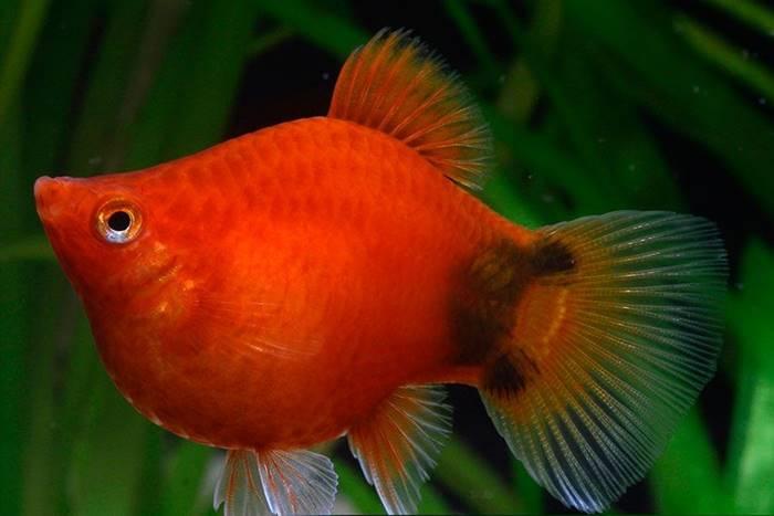 Ikan Hias Air Tawar - Ikan Platty