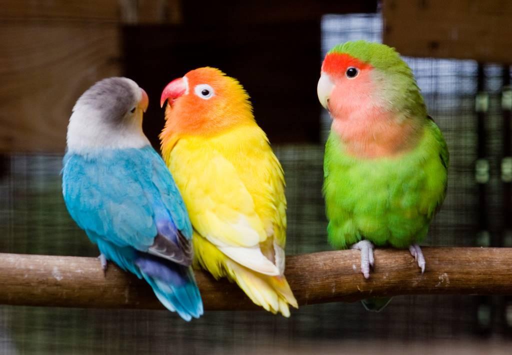 love birds hewan peliharaan yang mudah dipelihara