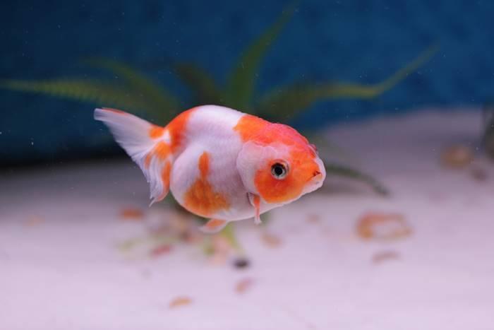 ikan mas hewan peliharaan yang mudah dipelihara