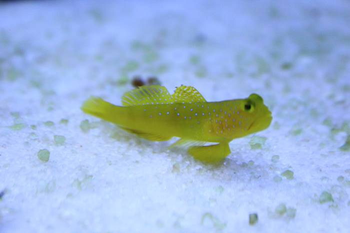 Ikan hias air laut - Watchman Goby