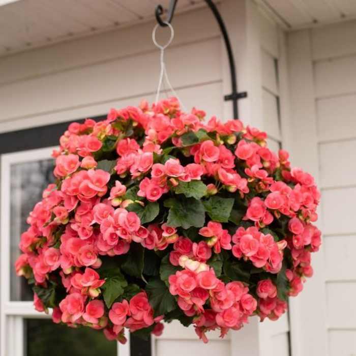 18 Jenis Tanaman Hias Gantung Dengan Bunga Tercantik