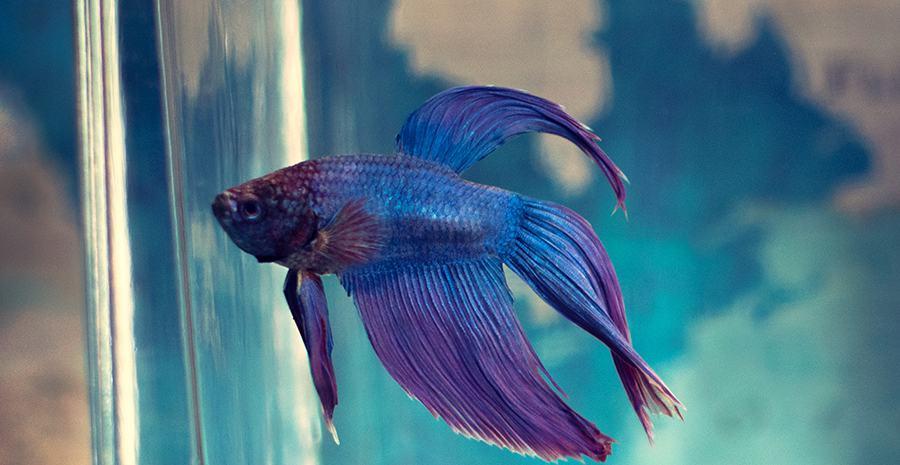 Daun Ketapang Untuk Budidaya Ikan Cupang Tokopedia Blog