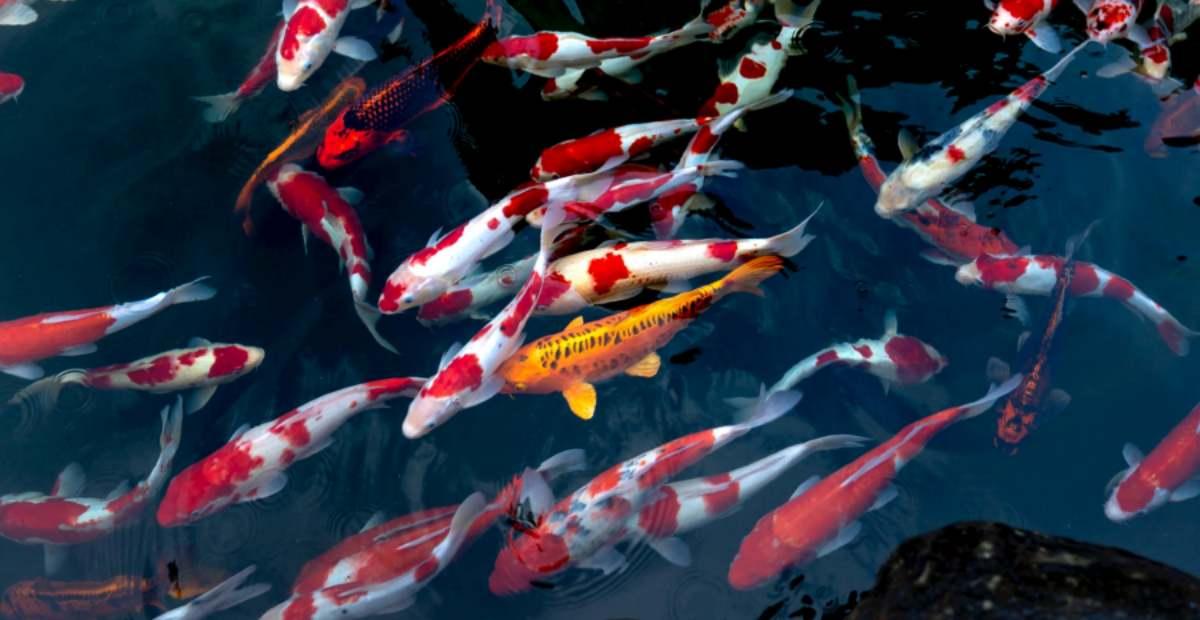 8 Daftar Merk Makanan Ikan Terbaik Tokopedia Blog