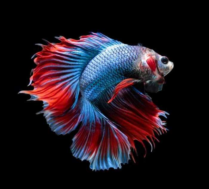 530 Gambar Keren Ikan Cupang Gratis Terbaik