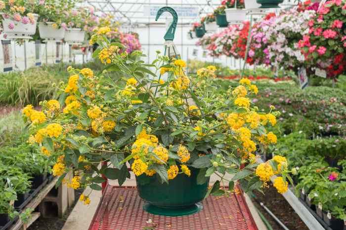 Image result for tanaman gantung Lantana