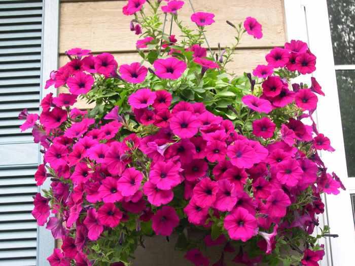 Desain Taman Bunga Gantung  18 jenis tanaman hias gantung dengan bunga tercantik