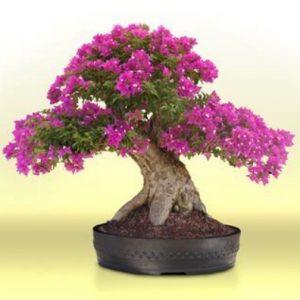Download 63 Gambar Pokok Bonsai Bunga Kertas HD Paling Keren