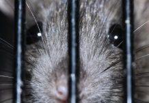 jebakan / perangkap tikus terbaik paling ampuh