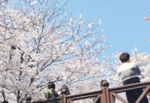 Cherry Blossom di Jinjae Korea Selatan