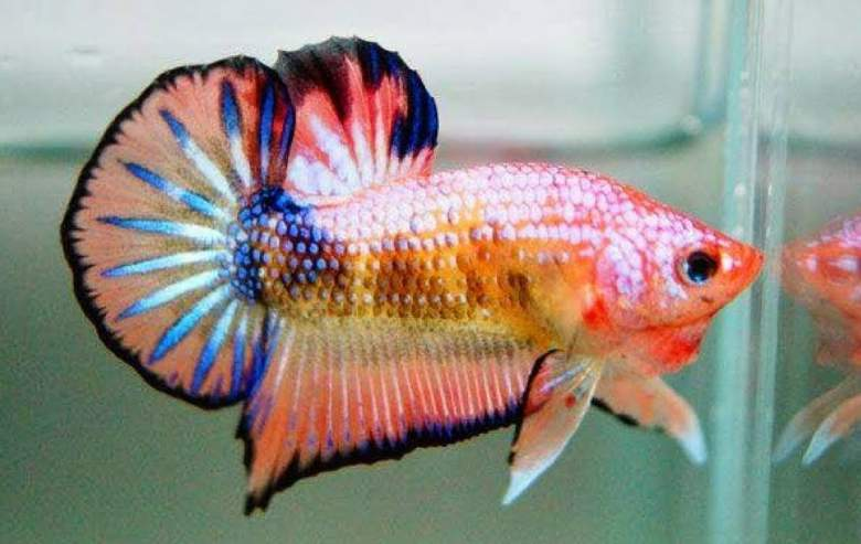 860 Koleksi Gambar Ikan Cupang Cantik Gratis Terbaru