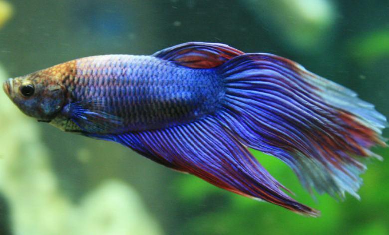 66 Gambar Ikan Cupang Sawah Terbaru