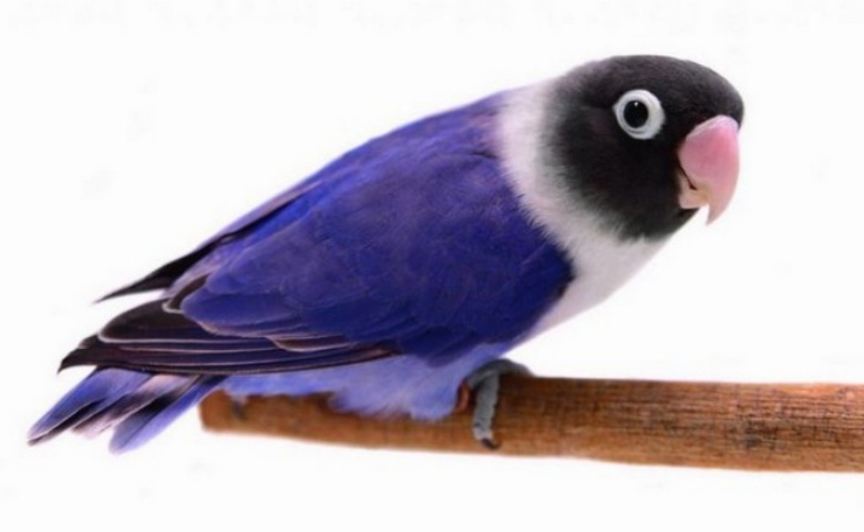 jenis lovebird termahal