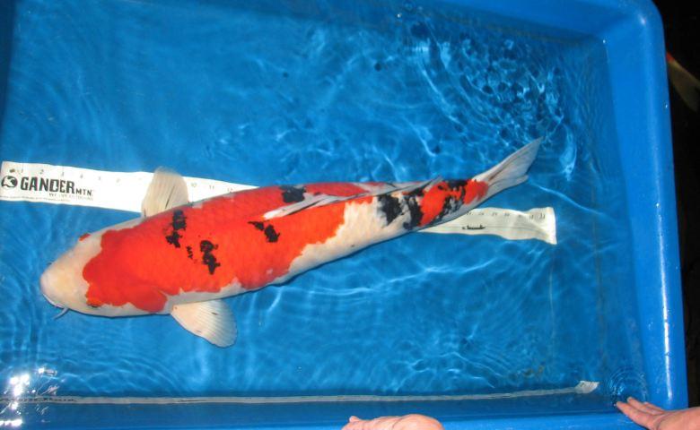 jenis ikan koi termahal