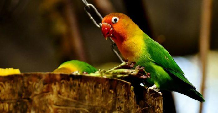 jenis lovebird, jenis burung lovebird, jenis lovebird termahal, macam macam burung lovebird