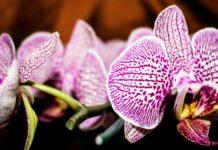 jenis anggrek, macam macam anggrek, jenis bunga anggrek, jenis tanaman anggrek, macam bunga anggrek