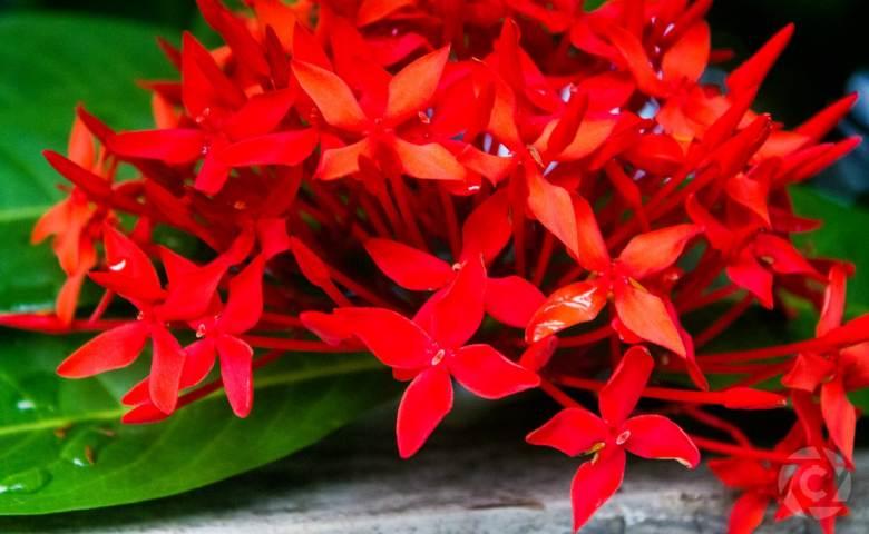 tanaman perdu, tanaman perdu hias