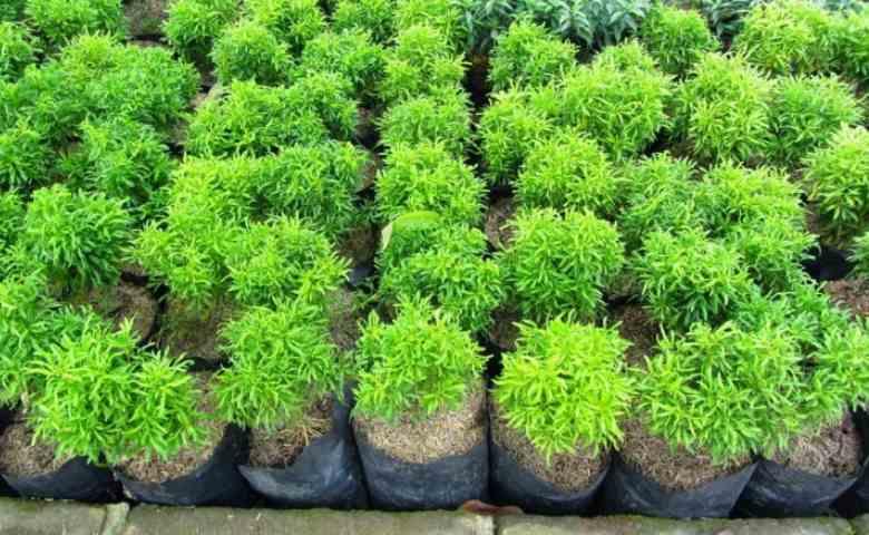 jenis tanaman perdu, tanaman semak
