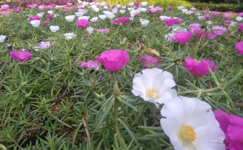 tanaman hias semak