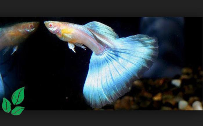 15 Jenis Ikan Guppy Populer Di Dunia Tokopedia Blog