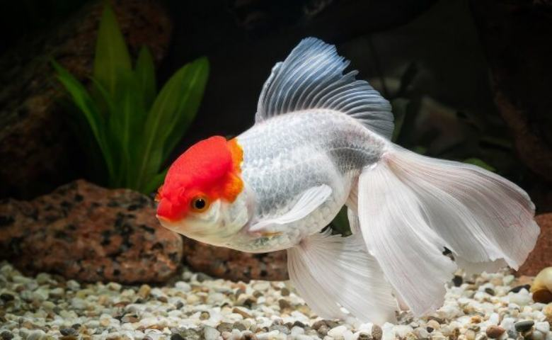 8. Ikan Mas Koki Oranda