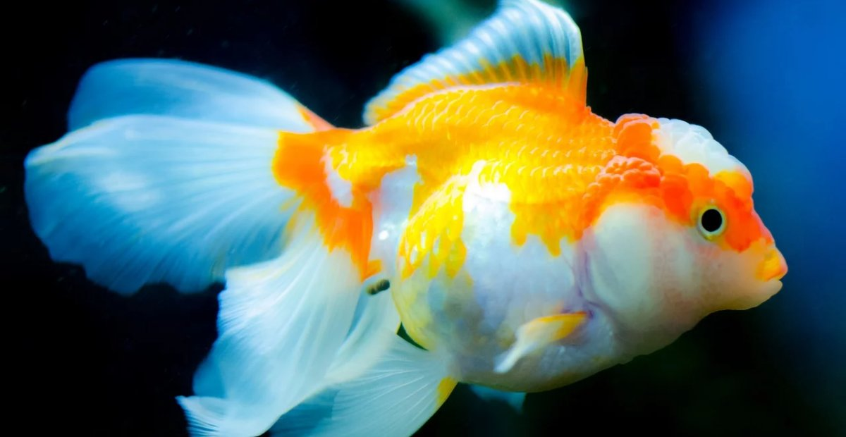 Jenis-Jenis Ikan Mas koki Yang Perlu Anda Ketahui