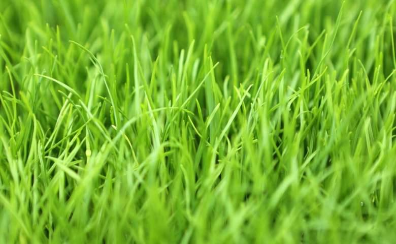 jenis rumput