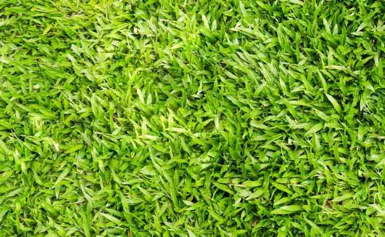rumput taman yang paling bagus