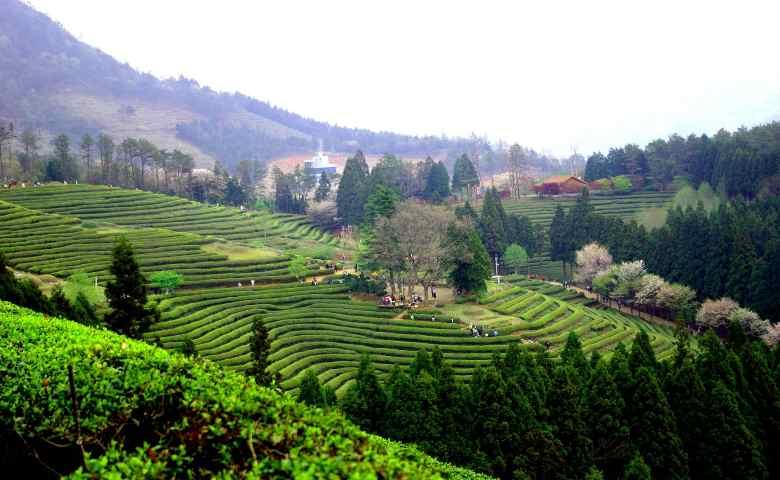 tempat wisata alam di korea selatan  Boseong Green Tea Field