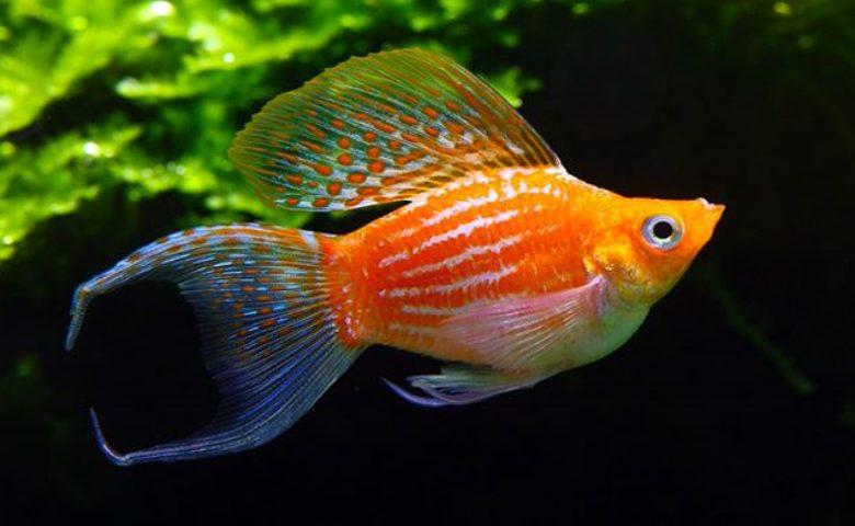 jenis ikan molly termahal