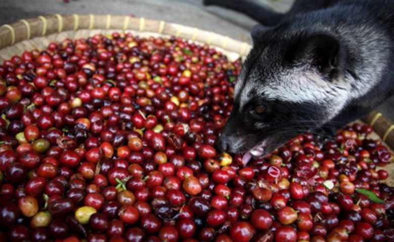 macam macam kopi: Kopi Luwak