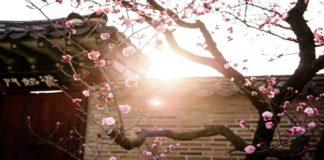 10 Festival Musim Semi di Korea selatan