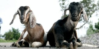 penyaluran hewan kurban