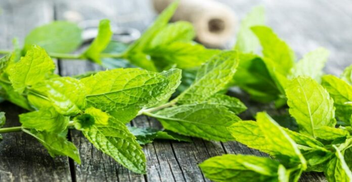 daun mint, manfaat daun mint