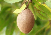 sawo, buah sawo