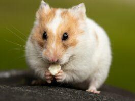 8 Pilihan Variasi Makanan Hamster Bernutrisi
