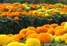 marigold, manfaat marigold