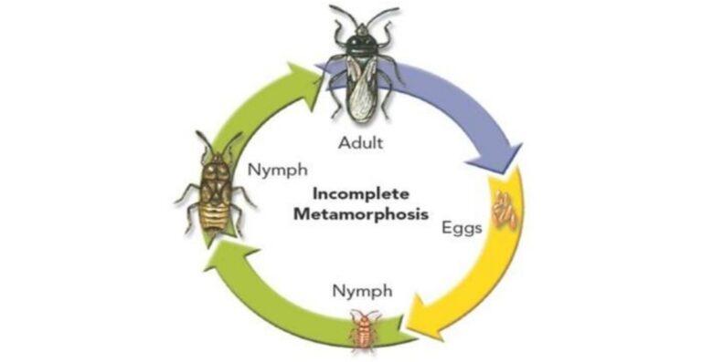 gambar metamorfosis tidak sempurna