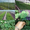 "Kalung Crystal Cube ""Four Leaf Clover"" Daun Langka (Legendary For Good Luck)"