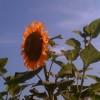 Sun Gold sunflower (seed)