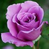 Bibit Tanaman Hidup Bunga Mawar Ungu /Purple Rose